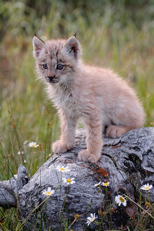 Canadian Lynx kitten sitting on an old log stump - CA