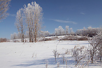 Trees with Hoar Frost in Snow Covered Field against Clear Blue Sky in mid-Morning