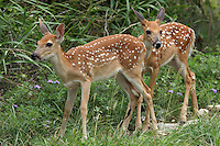 Whitetail fawns, early summer.<br />