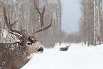 two male muledeer bucks heavy snow aspen forest during rut