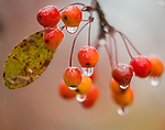 Raindrops on persimmons, hanging from some of the trees