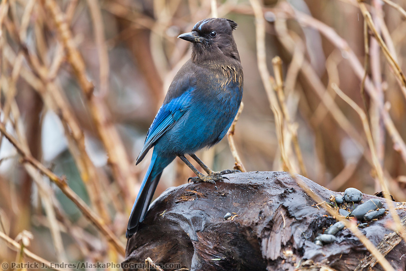 Steller's Jay, Prince William Sound, southcentral, Alaska