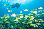 Gardens of the Queen, Cuba; a scuba divers swimming over an aggregation of French Grunts, Bluestriped Grunts and Porkfish swimming above the coral reef