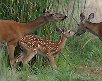"Baby fawn as the ""center of attention"""