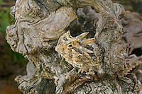 437850017 a wild texas horned lizard state threatened species phrynosoma cornatum sits in a mesquite tree branch on a private ranch in the rio grande valley of south texas