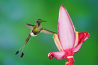Booted Racket-tail (Ocreatus underwoodii), male feeding from Banana flower,Mindo, Ecuador, Andes, South America