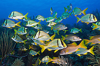 TH2429-D. Porkfish (Anisotremus virginicus) and Schoolmasters (Lutjanus apodus) aggregating together over a shallow reef healthy reef in a protected marine park. Cuba, Caribbean Sea. <br /> Photo Copyright &copy; Brandon Cole. All rights reserved worldwide.  www.brandoncole.com