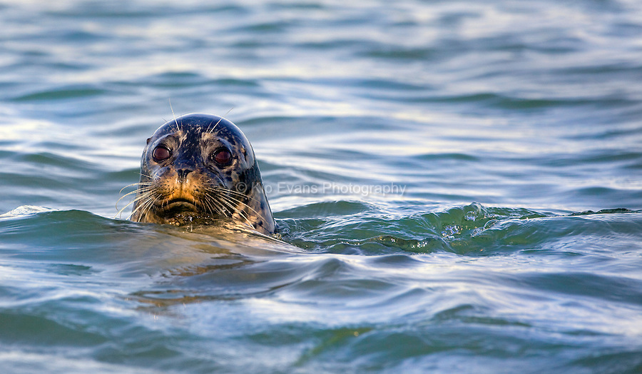 A harbor seal (Phoca vitulina) pops its head above water in Elkhorn Slough - Moss Landing, California.