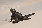 Las Bachas Beach, Santa Cruz Island, Galapagos, Ecuador; a Marine Iguana (Amblyrhynchus cristatus) walking on the sandy beach at the water's edge , Copyright © Matthew Meier, matthewmeierphoto.com All Rights Reserved