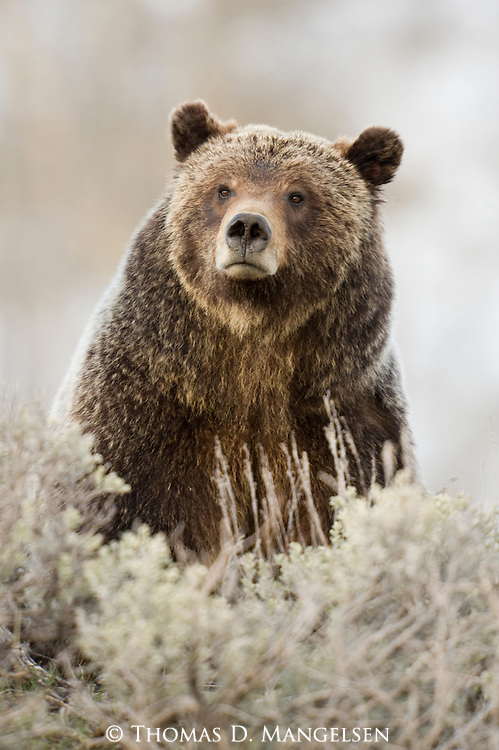 Portrait of Grizzly Bear 399 as she pauses in her foraging among the sagebrush in Grand Teton National Park, Wyoming.