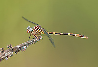 341750028 a wild female ringed forceptail dragonfly phyllocycla breviphylla perches on a dead stick along the rio grande river near bentsen rio grande valley state park hidalgo county texas united states