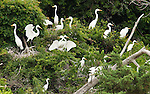 Great egrets and snowy egrets resident on Monkey Island, a small island in the Currituck Sound which serves as a nature preserve
