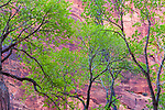 Bright green leaves of elegant Fremont cottonwood trees stand out from the red cliffs of Zion National Park, Utah, USA