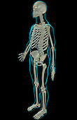An anterolateral view (left side) of the skeletal system. The surface anatomy of the body is semi-transparent and tinted green. Royalty Free