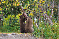 Brown bear spring cubs play by a birch tree, Katmai National Park, Alaska.