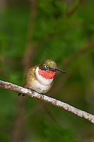 549920006 a wild male ruby-throated hummingbird archilochus colubris perches on a branch with his gorget highlighted on south padre island cameron county texas