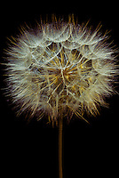 The flower of the Salsify weed, Tragopogon porrifolius, with golden networks and connections