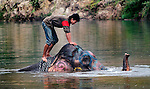 An Asian elephant (elephas maximus)having fun during it's morning bath at Pak Lai, Laos.