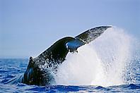 humpback whale, Megaptera novaeangliae, peduncle throw tail breach, Hawaii, USA, Pacific Ocean