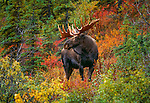 Large Bull Moose stands amidst autumn foliage, Denali National Park, Alaska, USA