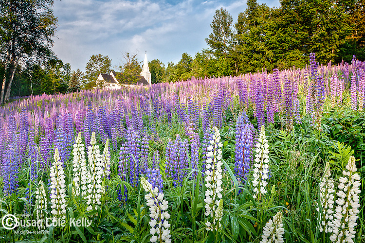 Lupines blooming in Sugar Hill, NH, USA