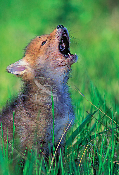 COYOTE pup howling. 3 ...