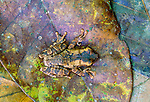 Casque headed frog, Tambopata River region, Peru