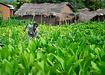 A woman farms tobacco in Dofu, an area in northern Malawi which has been hit hard by drought and hunger.  Tobacco is a cash crop for many families in the area, yet falling tobacco prices, coupled with food crops diminished by drought, have made it hard for many families to survive.