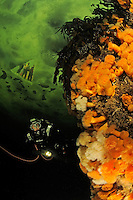 Brown Sea Anemone, Metridium senile, and kelp, Laminariales, and scuba ice diver under ice, Russia, White Sea, MR