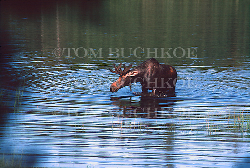 Bull moose, Alces alces, at Isle Royale National Park.