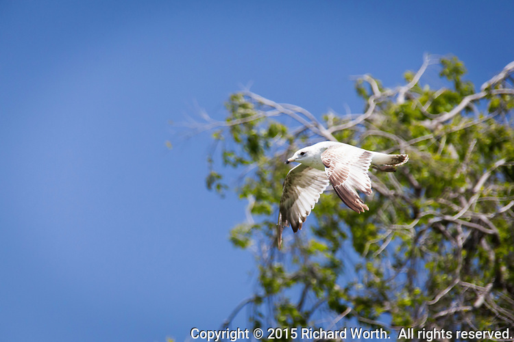 A gull is captured in flight, passing by a tree in the early spring stages of turning green and a cloudless blue sky.