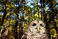 This Barred Owl is one of many injured and orphaned raptors living at the Carolina Raptor Center in Huntersville, NC (Mecklenburg County). Through its mission of environmental stewardship and conservation, the Carolina Raptor Center helps birds of prey through rehabilitation, research and public education. The center is located at 6000 Sample Road, Huntersville, NC.