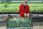 Foto: VidiPhoto<br /> <br /> OUDE NIEDORP - In het Noord-Hollandse Oude Niedorp is personeel van tulpenspecialist Triflor dinsdag al volop bezig met de oogst en verwerking van tulpen. Dankzij de zachte winter en het warme voorjaar van 2014, staan de Hollandse tulpen in de kassen dit jaar eerder in bloei dan in andere jaren. Normaal worden de eerste tulpen van eigen bodem pas rond half december geoogst. Nu is de productie al volop aan de gang. Met name rond de Kerst is het oer-Hollandse product razend populair. Buiten bloeien de eerste tulpen pas in maart. Zo'n 90 procent van de stengels is bestemd voor export naar het buitenland. Vooral Duitsland is dol op onze tulpen. Triflor verwerkt 22-25 miljoen tulpen per jaar.