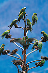 Maroon-Fronted Parrot, Sierra Madre Oriental, Mexico