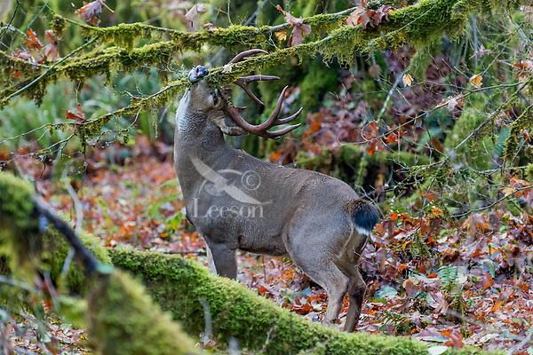 Coastal Black-tailed Deer Buck or Columbian black-tailed deer buck (Odocoileus hemionus columbianus) rubbing (scent marking with his pre-orbital glands)--rutting behavior.  Late Fall, Pacific Northwest