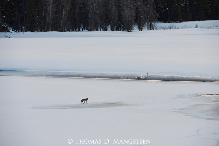 A coyote travels near three trumpeter swans floating in a narrow band of open water on the Snake River in Grand Teton National Park, Wyoming.