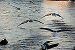 A group of pelicans takes off to leave.  Tarpon Springs, Florida, USA.