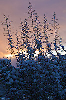 tree covered in snow against a sunrise in Santa Fe, NM