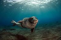 Monk seal, Madeira