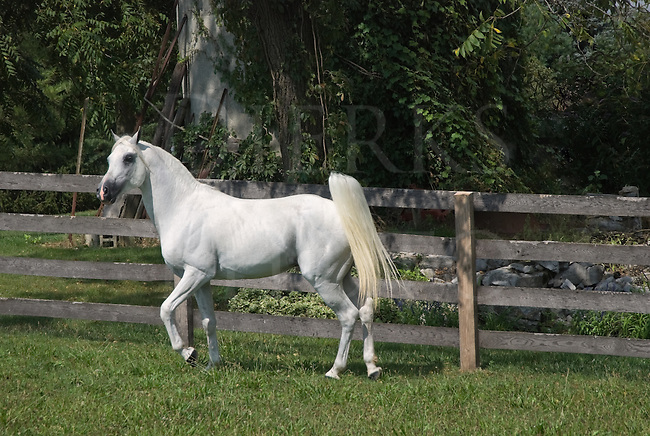 Picture of a white Arabian stallion standing in a green summer pasture with tail up.