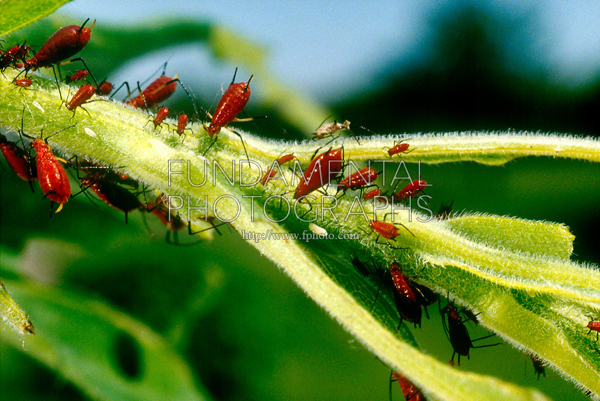 APHIDS ON GOLDENROD STALK<br /> Rosy Apple Aphids On Goldenrod Stalk<br /> Aphids, called plant lice or green flies, are found worldwide as parasites on the roots, leaves, and stems of plants, to which they frequently do great damage.