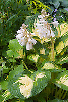 Hosta Great Expectations in bloom