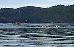 seals lounging and playing on a reef near Spencer Spit in the San Juan Islands while gulls inhabit the rock with marker behind them