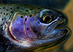 rainbow trout detail