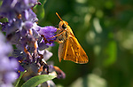Fiery Skipper on Mexican Bush Sage, Hylephila phyleus, Salvia leucantha, Southern California