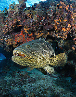 pk10224-D. Four-foot long Goliath Grouper (Epinephelus itajara) beneath colorful coral reef. Florida Keys National Marine Sanctuary, FL, USA, Atlantic Ocean..Photo Copyright © Brandon Cole. All rights reserved worldwide.  www.brandoncole.com..This photo is NOT free. It is NOT in the public domain. This photo is a Copyrighted Work, registered with the US Copyright Office. .Rights to reproduction of photograph granted only upon payment in full of agreed upon licensing fee. Any use of this photo prior to such payment is an infringement of copyright and punishable by fines up to  $150,000 USD...Brandon Cole.MARINE PHOTOGRAPHY.http://www.brandoncole.com.email: brandoncole@msn.com.4917 N. Boeing Rd..Spokane Valley, WA  99206  USA.tel: 509-535-3489