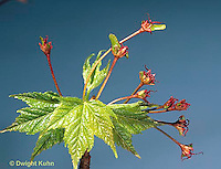MP06-010b  Red Maple emerging leaves, developing seeds - Acer rubrum