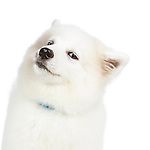 20141104 Samoyed Puppy