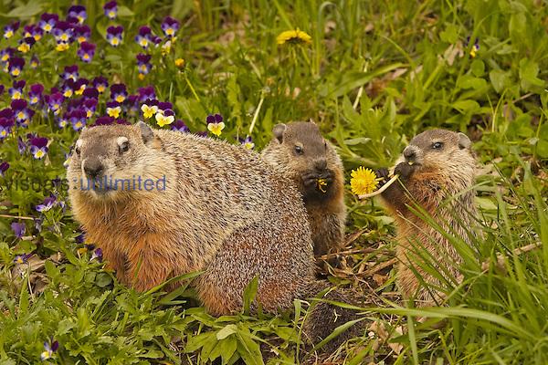 Woodchuck (Marmota monax)..Groundhog