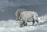 frosted bison near the Firehole River